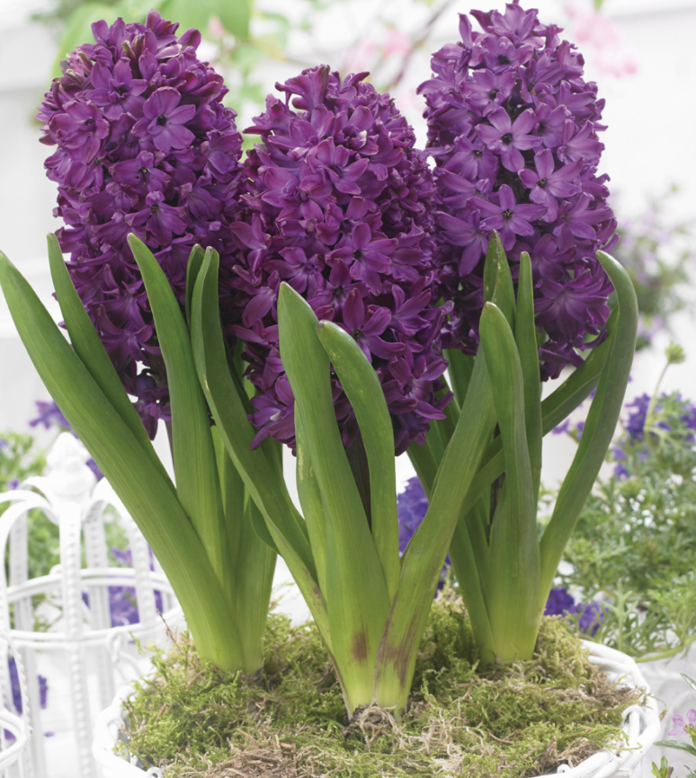Thompson & Morgan special offer Three bulbs pre-planted in a 12cm (5in) zinc cachepot (designs may vary).