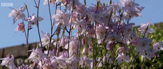 Aquilegia vulgaris Columbine