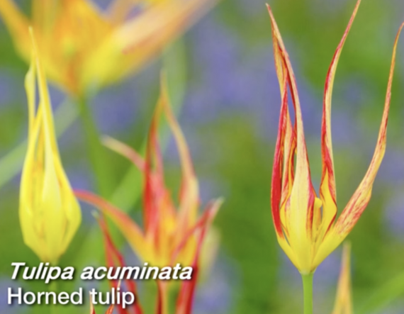 Tulipa acuminata Horned tulip